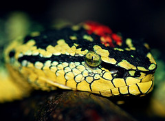 "Please don't let the ""Pit-Viper"" kiss your finger, it may be the last kiss... ( DocBudie) Tags: macro reptile snake malaysia viper ular penangisland treesnake venemous snaketemple waglerspitviper venemoussnake trimeresuruswagleri templeviper"
