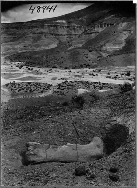 Argyrosaurus femur in situ