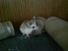 Mobile phone photos047 (ikieran97) Tags: toby hamsters jotoh