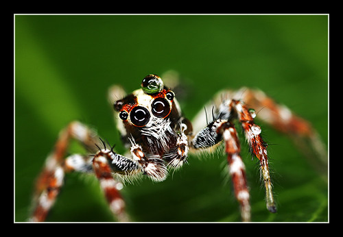 Jumping Spider ~4:1
