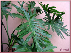Our potted Philodendron bipinnatifidum (Cut-Leaf/Split-Leaf Philodendron, Tree Philodendron, Selloum) - shot March 2009