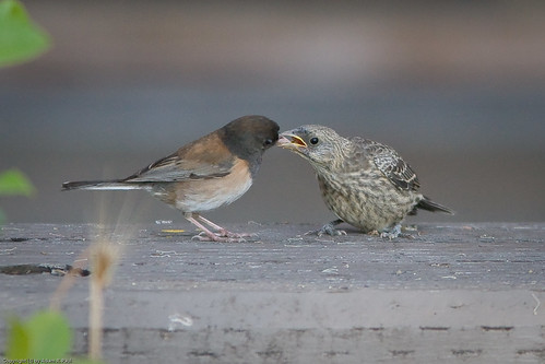 "Dark-eyed Junco feeding its ""baby"" Brown-headed Cowbird by you."