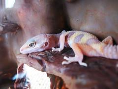 ([Werewolf]) Tags: firstday gecko leopardgecko babygecko canonpowershota590is zombeeee