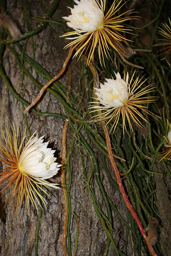 Night blooming cereus (Selenicereus grandiflorus)