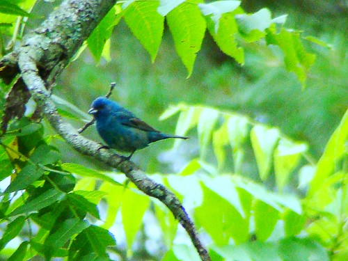 indigo bunting three 62009