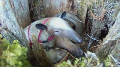 Pua anteater nesting in a stump