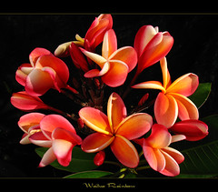 Hawaiian Flowers - The Plumeria Wailua Rainbow (mad plumerian) Tags: flowers canon hawaii florida plumeria exotic hawaiian frangipani rare tropicals tropicalflowers a620 kalachuchi hybrids rareplant landscapephotography rareplants exoticflowers flowersinbloom rareflowers rareplantsflowers hybridflowers lelavadee
