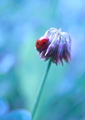 Island of fortune. (next_in_line) Tags: canon dof bokeh ladybug clover goodluck coccinella pijamaparty 400d purplepolish