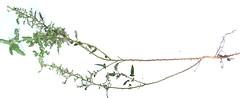 Pavonia hastata (John Poulakis) Tags: malvaceae shrub pavonia pavoniahastata hastata taxonomy:family=malvaceae taxonomy:common=pink pinkpavonia taxonomy:binomial=pavoniahastata