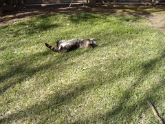 When you find a comfortable position (Tresijas) Tags: sleeping yard cat back feline funny lazy his exposed twinklestar