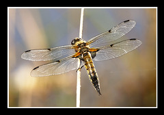 Four Spotted Chaser Dragonfly (Stephen Duffy Images) Tags: canon eos5d ef25mmextensiontube ef300mmf4islusm ef12mmextensiontube