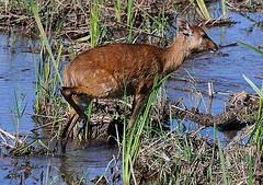Young Sitatunga 2/2 (showing rear hoof)
