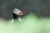 Atlantic Puffin (Gareth Scanlon) Tags: uk sea portrait macro bird up wales ed nikon close bokeh atlantic 300mm puffin if nikkor pembrokeshire gareth scanlon f4 afs arctica fratercula skomer d300s garethscanlon