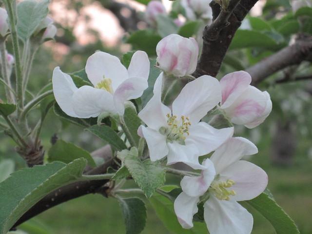 apple flower 1_20110520