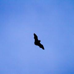 Batman visited me yesterday (Globetrotter_J) Tags: pet nature animal silhouette night flying scary wings silent vampire bat visit help hero batman vamp tier fledermaus gothamcity blutsauger echolot friendofrobin