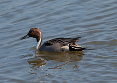 Northern Pintail (Desmojosh) Tags: blue brown white bird water duck northern pintail