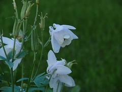 Flowers (annamarias) Tags: