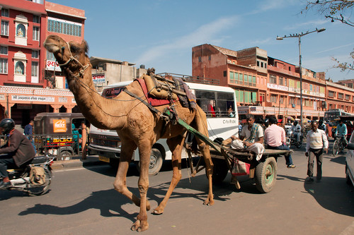 Camels and cars!