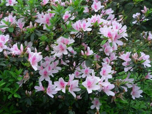 大尖山杜鵑花