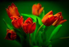 20090220 Tulips - Red on Green (SteenT) Tags: tulips 365 redtulip project365 steentalmark talmark steentalmark