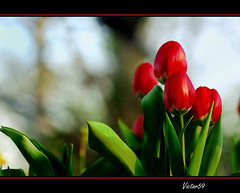 Tulipani (sirVictor59) Tags: flowers red nikond70 tulip fiori rosso viterbo pictureperfect tulipani colorphotoaward aplusphoto theunforgettablepictures rubyphotographer sirvictor59 vosplusbellesphotos