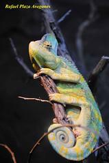 camaleon multi color (rafaptt) Tags: animales reptiles worldclassnaturephotos