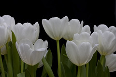TulipBunch_Edit (quiksilver_ice) Tags: tulips edited bunch