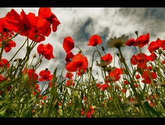 You Should Be Dancing (FotoRita [Allstar maniac]) Tags: life flowers italy rome roma colors digital canon poppies fiori myfavourites canoneos350d eos350d papaveri sigma1020mm byfotorita youshouldbedancing vosplusbellesphotos