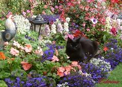 Poppy's Picture (EdwinaFran) Tags: flowers summer cat garden 1001nights thegalaxy mywinners colourartaward 100commentgroup vosplusbellesphotos saariysqualitypictures edwinafran