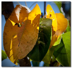 The End Of Summer (Sam Ili) Tags: autumn light summer sun color tree leaves canon bokeh australia pear canberra canon24105mm4