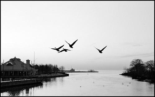 Geese in Flight (by StarbuckGuy)