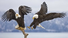 Get of my branch (kwilliams) Tags: birds alaska action flight baldeagle raptor homer eagles haliaeetusleucocephalus birdofprey supershot twoeagles eaglesinflight thewonderfulworldofbirds getoffmybranch