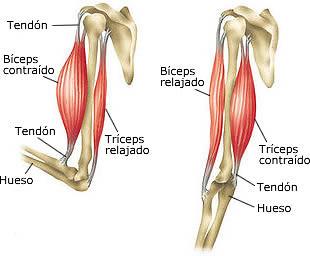 musculo esqueletico brazo