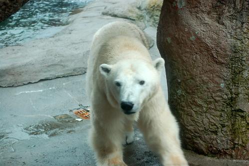 Oregon Zoo: Polar Bear
