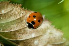 Ladybug (Lotus21) Tags: macro nature closeup insect spring day ladybug manualfocus k200d justpentax sears135mmmacro lindabanning lindabanningphotography©2009