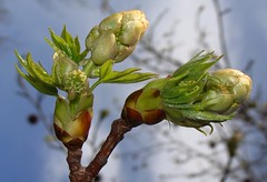 Sweetgum bud by Martin LaBar
