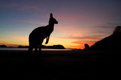 Kangaroo @ sunrise (Double Dimension) Tags: nature animal natuur australia kangaroo dier downunder australië kangoeroe