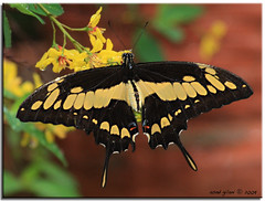 Thoas Swallowtail (iCamPix.Net) Tags: vacation butterfly florida mariposa browardcounty butterflyworld naturesfinest coconutcreek canon100400mmf4556lis papiliothoas 8898 thoasswallowtail platinumphoto ultimateshot vosplusbellesphotos canonmarkiii1ds