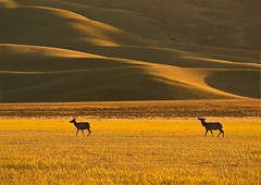 Near sunset, Tule Elk, Carrizo Plains (MistyDays / CB) Tags: california sunset wild nature shadows natural wildlife olympus hills elk ungulate 50200mm carrizoplains tuleelk charleneburge californiawildlife highestposition20onwednesdayapril152009 highestposition16onthursdayapril162009 highestposition45onwednesdayapril152009 highestposition27onwednesdayapril152009 charlenemburge