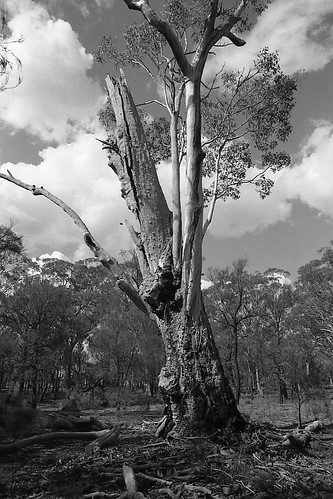 500 year old gum tree