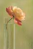 EXPLORED! Rose Flower Macro - IMGP7771 (Bahman Farzad) Tags: flowers light roses flower color macro green window nature water colors rose painting drops pastel background waterdrops windowlight flowermacro rosemacro roseflower macroflower flowerrose macrorose softmacro macrosoft stunningphotogpin