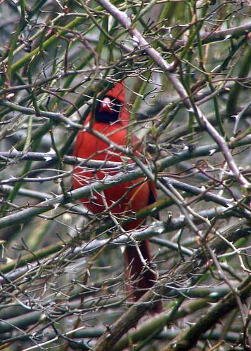 cardinal thorns