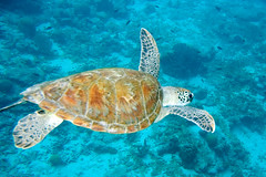 green turtle Chelonia mydas (Paul and Jill) Tags: woodwind bonaire cheloniamydas greenturtle kleinbonaire