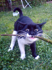 Tug a Stick (M4j4) Tags: cat kitten funny play brandur