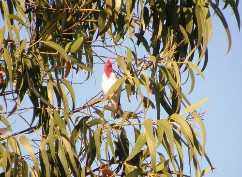 cardenal en eucalipto