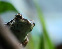 Peer (Zozu9) Tags: macro green nature closeup mouth eyes bokeh amphibian frog intent top20frogs