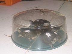 Turtles under a cake cover!