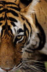 ADS_000001728 (dickysingh) Tags: wild india nature face closeup outdoor wildlife tiger bigcat aditya ranthambore singh ranthambhore dicky eyehead anawesomeshot impressedbeauty adityasingh ranthamborebagh theranthambhorebagh vosplusbellesphotos flickrbigcats