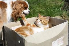 Cat box, are you listening..it's a cat box (Bogart Cat) Tags: gingercat oadby kingcharlescavalier ramsbottomcat