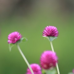 HPPT : Pretty pink balls (AgniMax) Tags: pink india green nature canon bokeh kerala 70300mm mothernature ppt naturephotography pinkflowers beautifulnature natureview canon70300mmis naturepictures natureimages naturewallpaper canoneos400d hppt naturebackground immortalflower prettypinktuesday amazingnaturepictures  ajambari